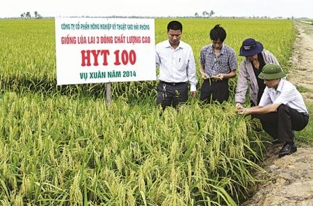 Mô hình trồng lúa chất lượng cao tại xã Cao Minh, Vĩnh Bảo