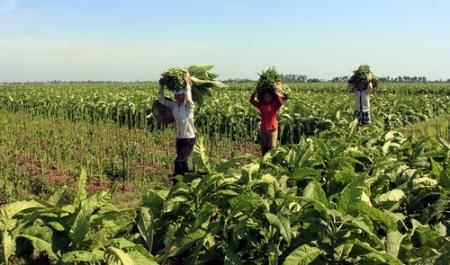 Người dân thu hái lá thuốc lào tại ruộng