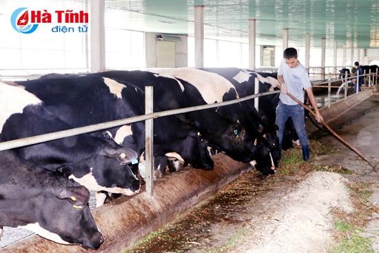 Trang trại bò sữa Đồng Minh Nguyên ở xã Thường Nga, quy mô 150 con, sản lượng sữa gần 1 tấn/ngày, doanh thu trên 350 triệu đồng/tháng.