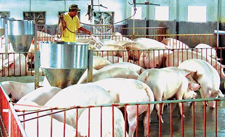 Nguồn vốn của Quỹ Tín dụng nhân dân Quỳnh Minh giúp anh Vũ Đức Mạnh phát triển chăn nuôi, nâng cao thu nhập.