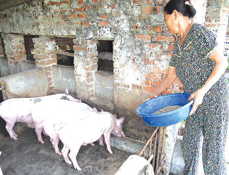 Nguồn vốn tín dụng ưu đãi giúp nông dân xã Vũ Đông (thành phố Thái Bình) phát triển chăn nuôi.